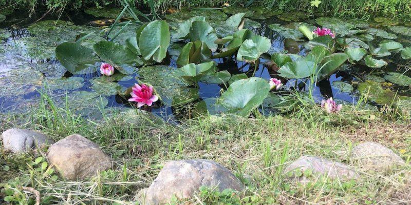 pinke Seerosen im Wasserlauf vor Hochzeitslocation
